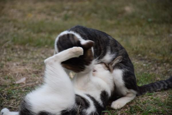 猫がじゃれる