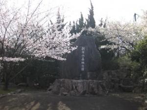 朝日山 桜