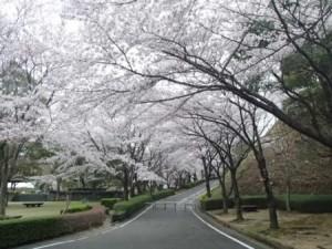 神山森林公園桜