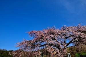 綾川 枝垂桜