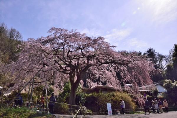 逆光の桜 綾川 しだれ桜