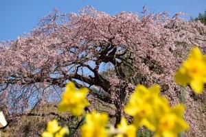 水仙と桜 綾川 しだれ桜