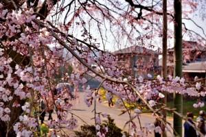 淡い桜の木 綾川 しだれ桜