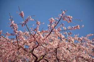 青空と桜 綾川 しだれ桜