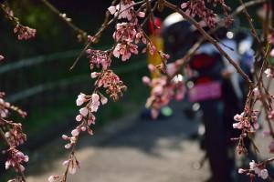 桜とバイク2