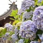 香川県『粟井神社』のアジサイがすごい!数が多くオススメの名所で花の撮影にピッタリな場所