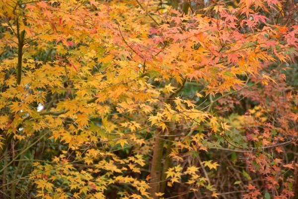 翠波高原 黄葉