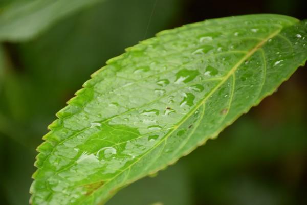 雨 葉っぱ