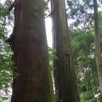 香川県の重要文化財「二本杉」津柳にある樹齢800年の巨大な杉を見てきた