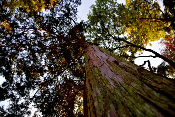 杉を見上げる