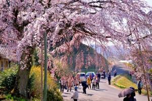 桜観光客 綾川 しだれ桜