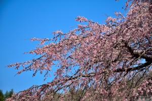 枝垂桜と青空 綾川枝垂桜