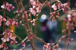 桜とバイク 綾川枝垂桜