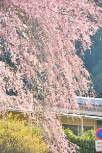 枝垂桜1 綾川しだれざくら