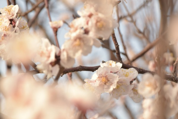 春 桜 花粉