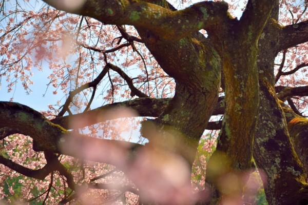 綾川 しだれ桜