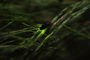 Firefly_ホタル_蛍_Hotaru