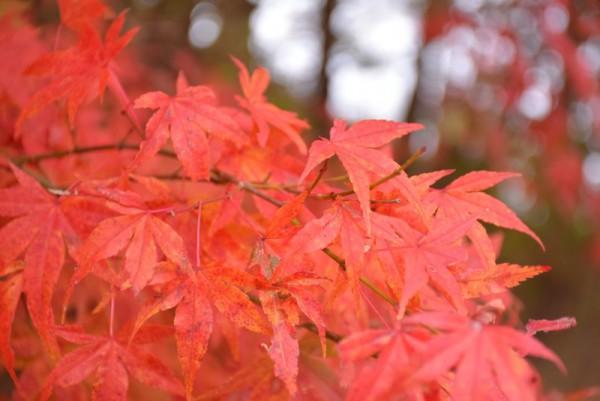 水波高原 紅葉