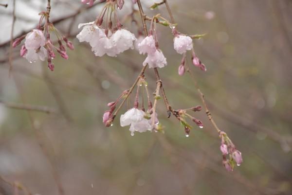 雨 桜 撮影