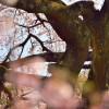 綺麗すぎる!『綾川の枝垂れ桜』見頃や駐車場などをリサーチしてきたぞ